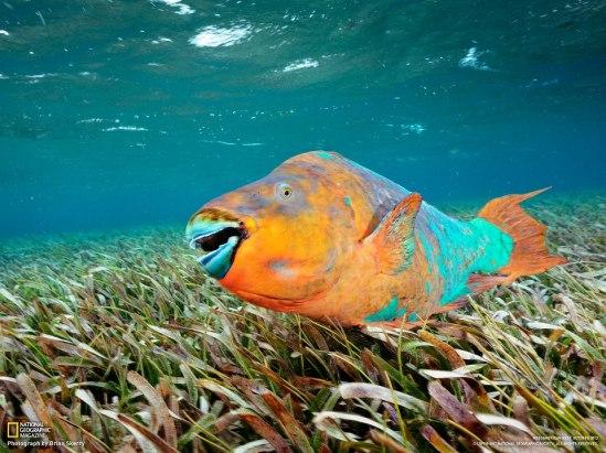 male Rainbow Parrotfish