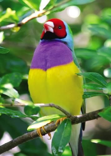 Lady Gouldian Finch1