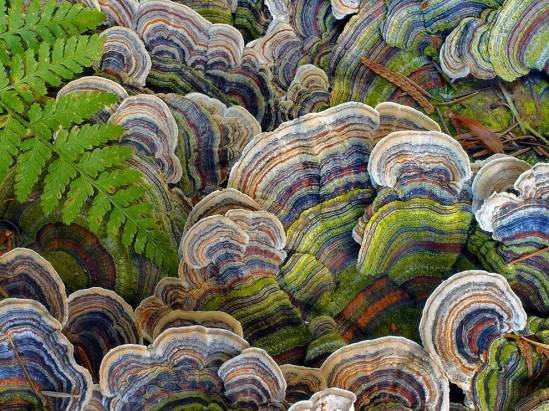 turkey-tail-fungus