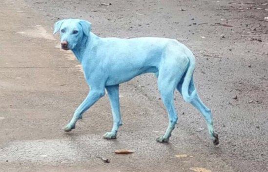Blue-dogs-in-Navi-Mumbai-889x574.jpg